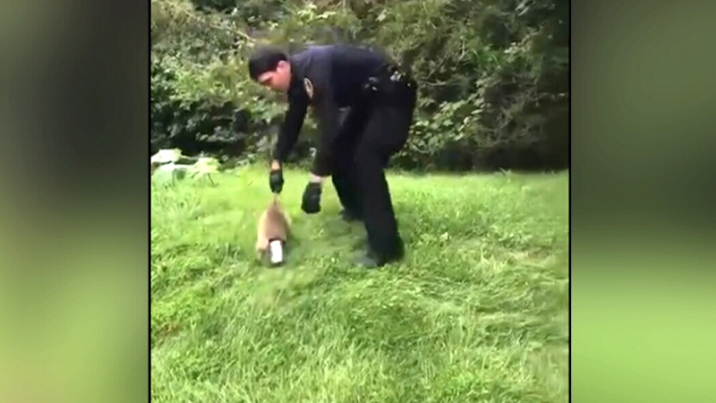 Officer makes many attmpts to rescue raccoon stuck