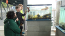 Christopher Villacorta, an interpreter with the North Coast Ecology Centre Society, watches as two young attendees at the society's pop-up aquarium in Prince Rupert examine a sea cucumber. (Joshua Azizi/CFTK).