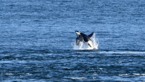 A southern resident killer whale is pictured in the Haro Strait on July 27, 2021: (Orca Behavior Institute)