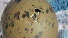 Loon egg beginning to hatch (Mita Gibson)