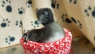 Luna the Loonlet was rescued from abandoned nest in northern Ontario. (Woodlands Wildlife Sanctuary)