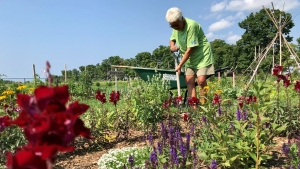 Volunteer Carole Vaughan works at the community garden at the Clearview EcoPark & Community Garden on Wed., July 28, 2021.  The garden is growing with the expansion of a fruit orchard. (Dave Sullivan/CTV)
