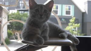 The Feline Café and Rescue Foundation in Hintonburg needs the community's help to meet the financial demands for their rescue cats and kittens. (Leah Larocque / CTV News Ottawa)