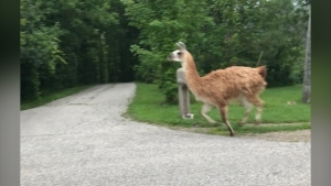 A llama was spotted on the loose on Watson Road Wednesday morning. (Supplied by Tanya St. Michel)