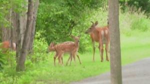 Deer population booming