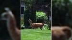 Llama on the loose in Ont. neighbourhood