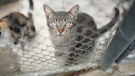 A cat looks out from an enclosure at the animal city shelter in Rio de Janeiro, Brazil, on Sept. 11, 2020. (Silvia Izquierdo / AP)