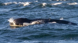 Southern resident killer whale, K21, also known as Cappuccino, is pictured off Vancouver Island on Wednesday, July 28, 2021. (Adventures by HIP / Facebook)