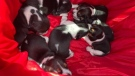 Seven puppies and their mother located in Windsor, July 30, 2021. Essex County OPP