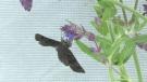 Mottled Duskywing Butterfly. (CTV Kitchener)