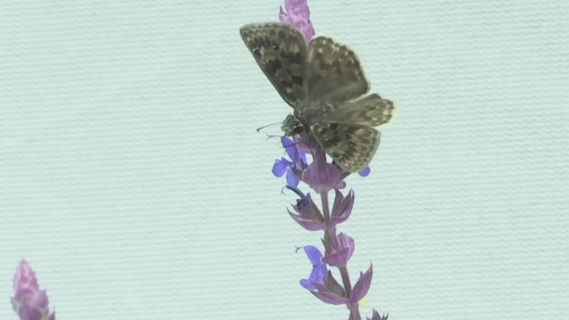 Butterfly Conservatory helping endangered species