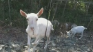 Nanaimo using goats to trim weeds, landscape