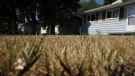 A dried out lawn in Saskatoon. (Tyler Barrow/CTV News)