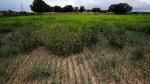 This July 2021 photo shows a portion of Paul Skrak's Sudan grass field where rainwater pooled and killed the plants on his farm near Santa Fe, N.M. (Gabriela Campos/Santa Fe New Mexican via AP)