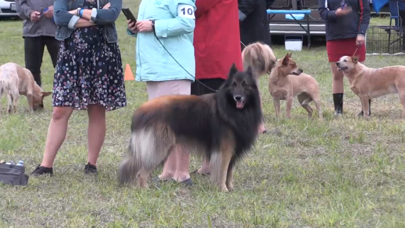 Hundreds of dog owners gathered for the return of the Barrie Kennel & Obedience Club's annual dog show in Orillia on the Civic long weekend (Luke Simard/CTV News Barrie)