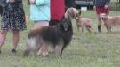 Barrie Kennel Club Dog Show returns