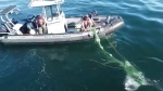Drone video of the effort shared with CTV News shows the whale thrashing and rolling to break free of the gear, as crews hold onto the net and use poles to loosen and cut it. (DFO)