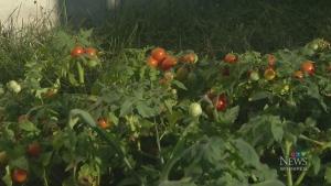 Community garden built for newcomer families
