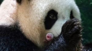 This handout photo released by the Beauval Zoo shows panda Huan Huan holding her new born female cub in Saint-Aignan, central France, Monday, Aug. 2, 2021. A giant panda on loan to France from China gave birth to two female twin cubs early Monday, the zoo announced. The Beauval Zoo, south of Paris, said the twins weigh 149 and 129 grams (5.3 and 4.6 ounces). (Eric Baccega/Beauval Zoo via AP)