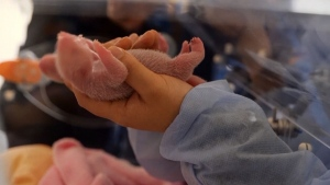 Two baby panda cubs born in French zoo