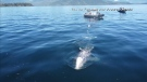 Challenging rescue of tangled grey whale