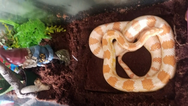 Large corn snake found alone on B.C. bus
