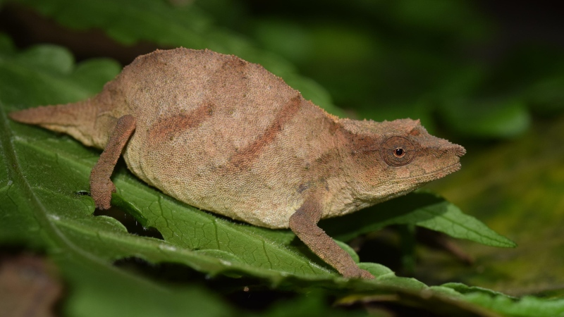 Chapman's pygmy chameleons walk atop and blend in with dead leaves on the forest floor, crawling up into low bushes at night to sleep. (Krystal Tolley via CNN)