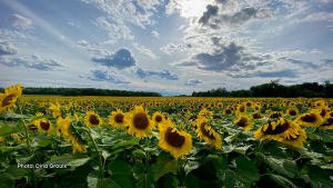 Sunflower field at Wilmead Farms on Dunning Road. (Dina Groulx/CTV Viewer)