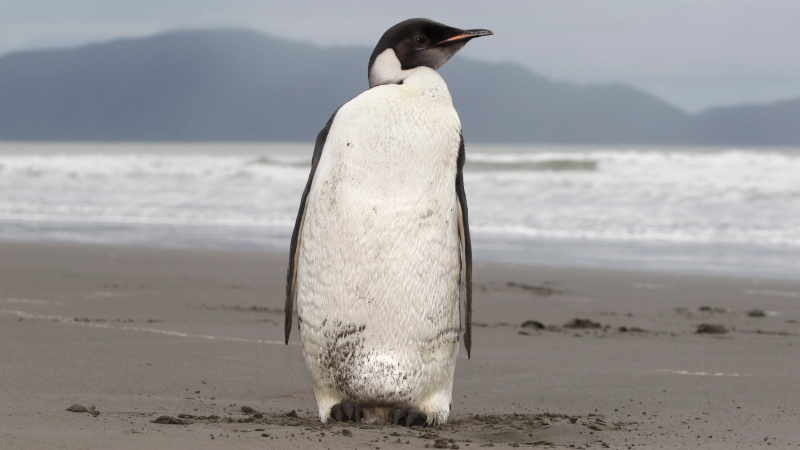 In this June 21, 2011 file photo, an Emperor penguin stands on Peka Peka Beach of the Kapiti Coast in New Zealand. (Mark Mitchell/New Zealand Herald via AP, File)