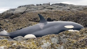 Good Samaritans keep beached killer whale alive