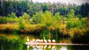 Pelicans at Fort Whyte Alive. Photo by Roy Heinrichs.