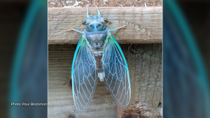 A cicada, just minutes after emerging from its final molt. (Paul Blackman/CTV Viewer)
