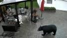 Regular bear visitor a concern in Sudbury