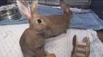 'Bunny boom' at the Guelph Humane Society
