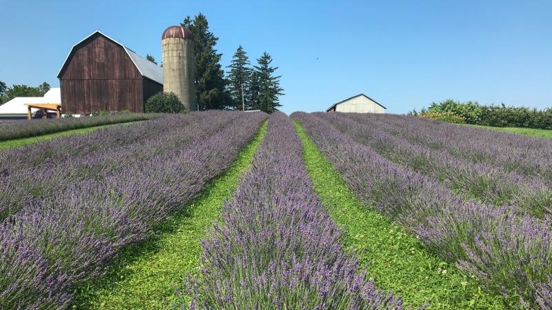 A lavender field at a Norfolk County farm (Shannon Bradbury / CTV Kitchener)