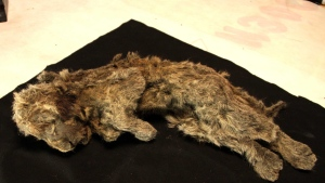 A frozen cave lion cub found in Siberia with whiskers still intact is more than 28,000 years old. (Love Dalén/CNN)