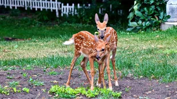 Twins! In my backyard in Carman. Photo by Bev McLean.