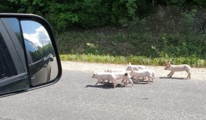 A trailer carrying livestock that overturned near Mattawa on Aug. 2 was carrying about 1,600 piglets, Ontario Provincial Police said Thursday. Some are seen here on Highway 533. Photo from (Mattawa Open Forum Facebook)
