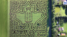 The design of the corn maze at Kraay Family Farm, near Lacombe, showcases an insulin bottle with the years 1921 and 2021 written inside a maple leaf. (Supplied)