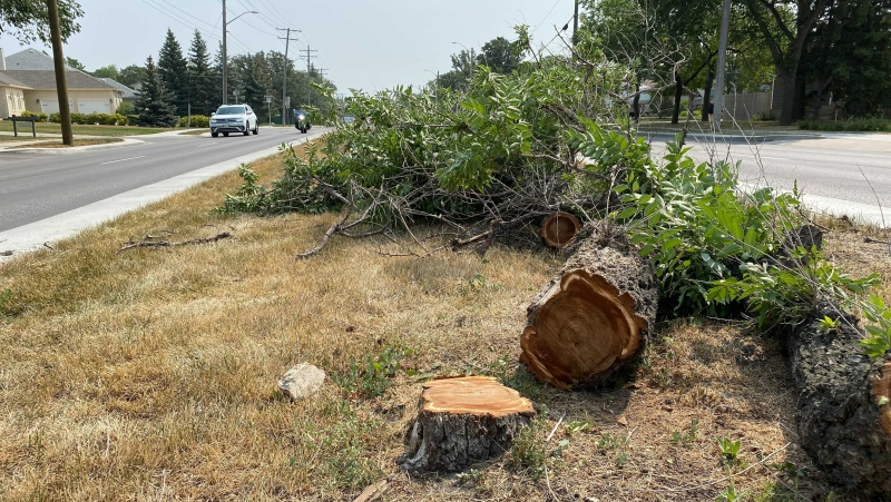 Several trees were trimmed and cut down to make way for a house being moved in August, 2021. (File Image: CTV News/Zach Kitchen)