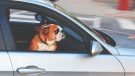 RCMP have charged a woman for leaving two dogs in a hot car in West Paradise, N.S. on Saturday. (File photo/ PEXELS)