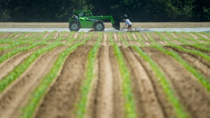 Workers do maintenance at the Scotlynn Group asparagus farming facility near Vittoria, Ont., in Norfolk County on Wednesday, June 3, 2020. THE CANADIAN PRESS/Nathan Denette