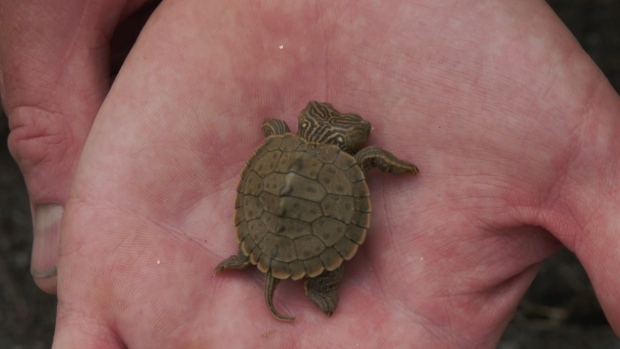 Some unusual turtles, including this two-headed map turtle, have shown up as part of the Upper Thames Valley Conservation Authority's repopulation efforts in London, Ont., Wednesday, Aug. 18, 2021. (Jaden Lee-Lincoln / CTV News)