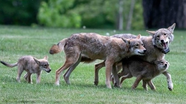 A collared wild coyote that was roaming a Scarborough neighbourhood near the Pine Hills Cemetery is seen playing with his family in June. (Instagram/torontowildlifecentre)