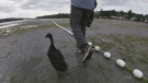Sawatsky Sign-Off- Duck Dad