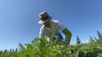 A volunteer harvests the charity garden, Aug. 25, 2021