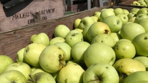 The entire crop of apples at Meleg's Lakeview Orchard in Kingsville Ont. has been down-graded because of a hail storm. (Michelle Maluske/CTV Windsor)