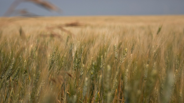 Drought shrinks Canada's wheat crop to 14-year low, shrivels canola harvest