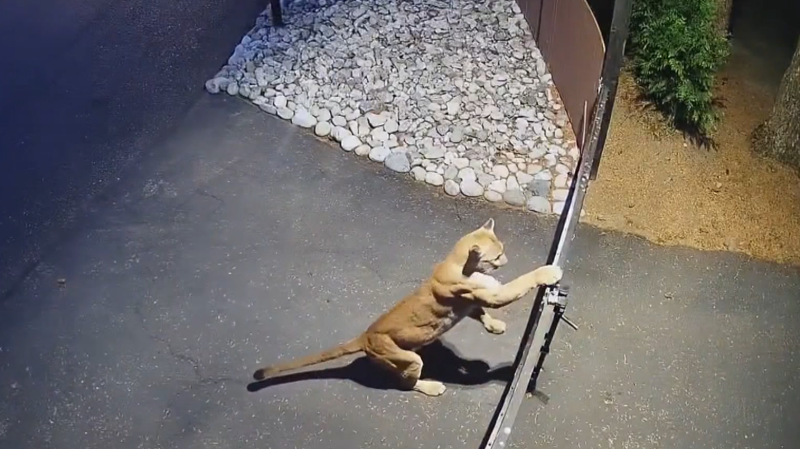 A still image from video posted to Facebook by Jamie Purcell shows a cougar in Langley, B.C., in August 2021.