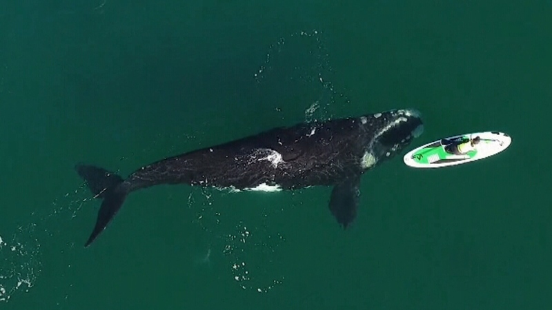 Drone footage captures close encounter with whale